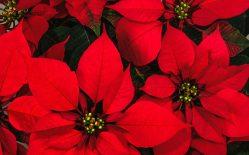 Poinsettia-Flower-Romence-Garden-1080x675